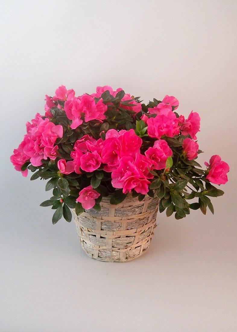 Pink Azalea Morning Glory Flower Shop