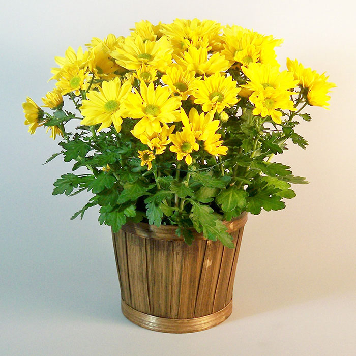 Yellow mum plant morning glory flower shop pe111 yellow mum mightylinksfo